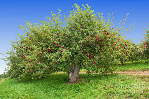 Large Apple Tree Poster