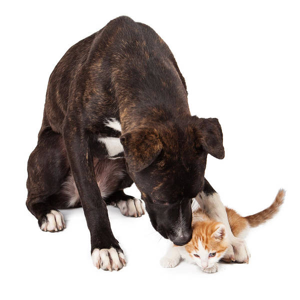 Large Dog Playing With Kitten Poster