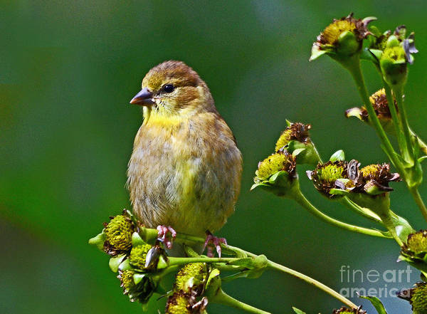 Late Summer Finch Poster