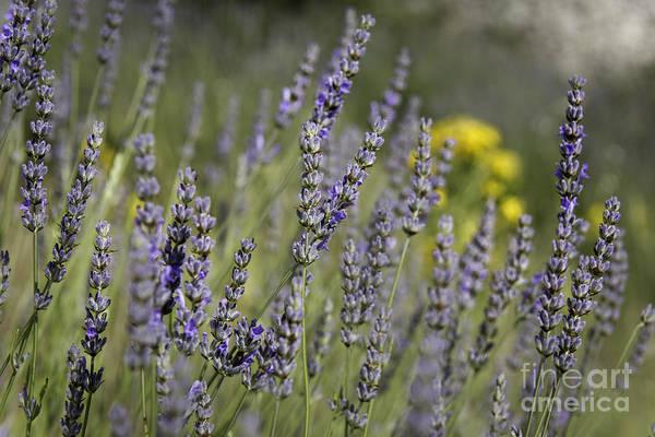 Lavender 1 Poster