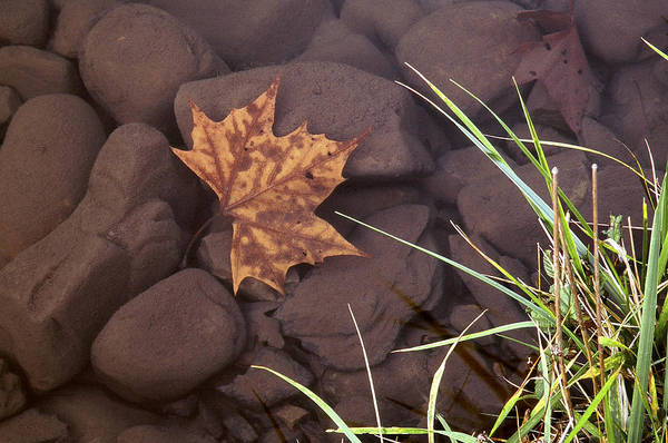 Leaf In The Mountain Fork River Poster