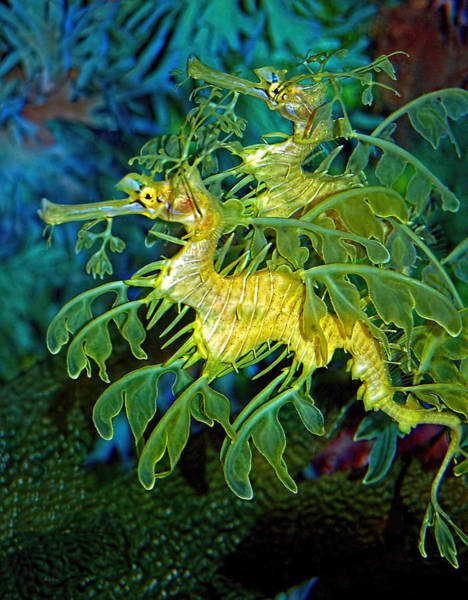 Poster featuring the photograph Leafy Sea Dragons by Donna Proctor