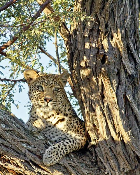 Poster featuring the photograph Leopard Portrait IIi by Gigi Ebert