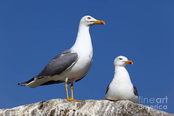 Lesser Black-backed Gulls Poster