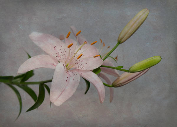 Pink Lily With Texture Poster