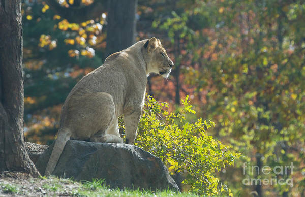 Lion In Autumn Poster