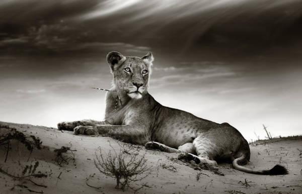 Lioness On Desert Dune Poster