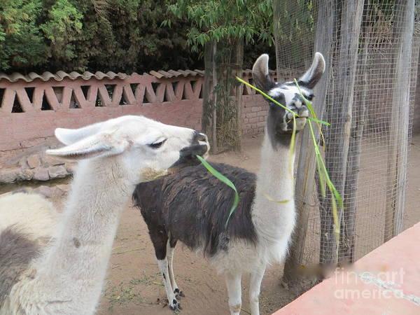 Llamas In Peru Poster
