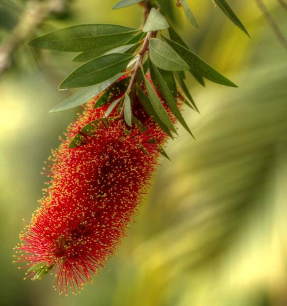 Lone Bottlebrush Poster