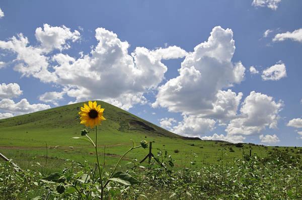Lone Sunflower Poster