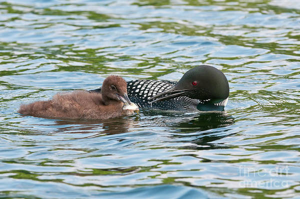 Loon And Baby Poster