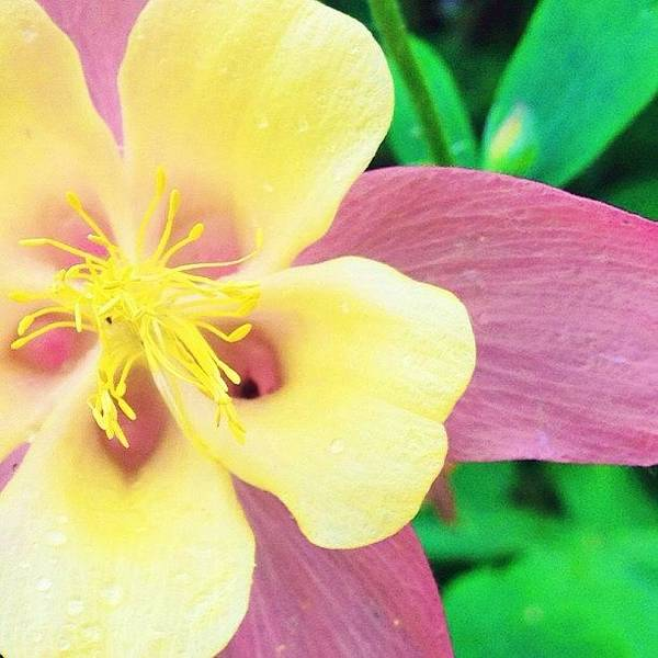 Lovely Columbine Flower Poster