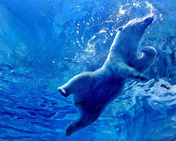 Low Angle View Of Polar Bear Swimming Poster