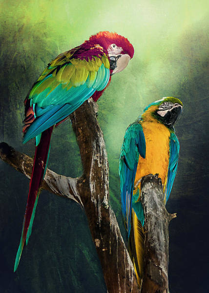Macaws Siesta Time Poster