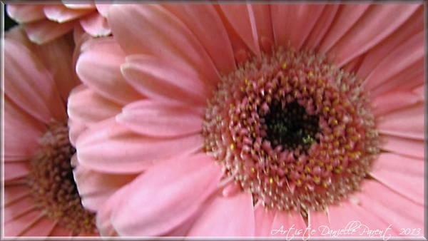 Macro Pink Gerbera Daisies Poster