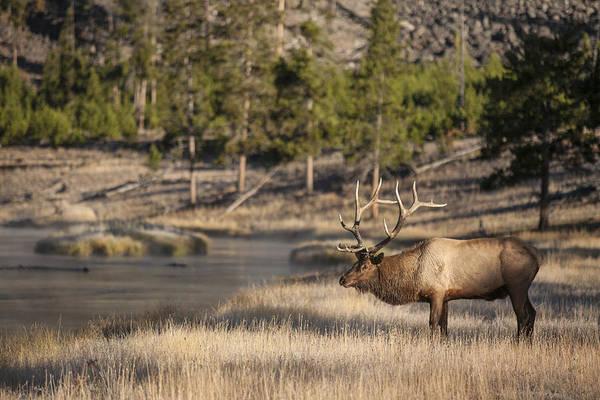 Madison River Elk Poster