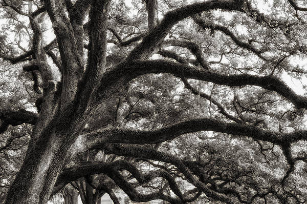 Magnificent Oaks Of Louisiana Poster