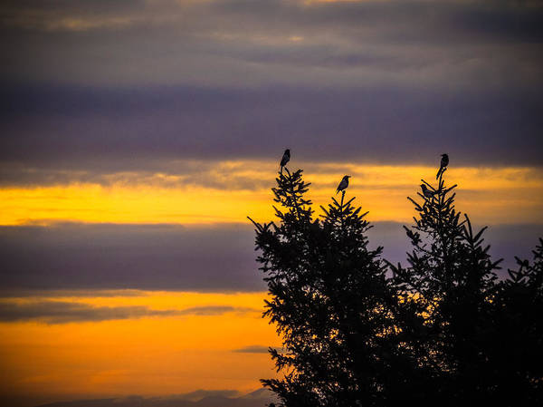 Magpies At Sunrise Poster