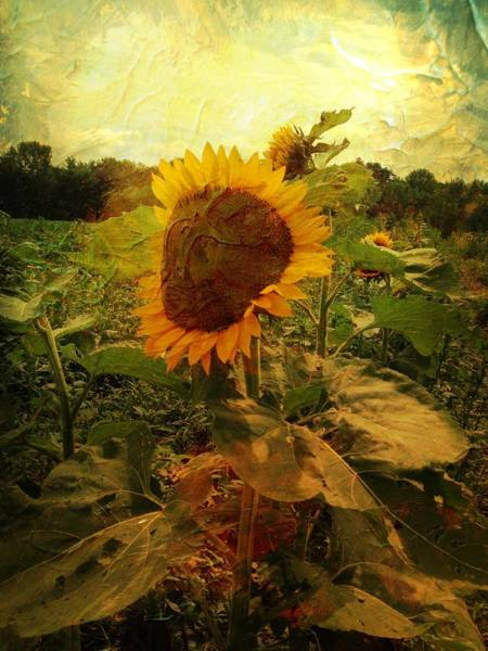 Majestic Sunflower  Poster