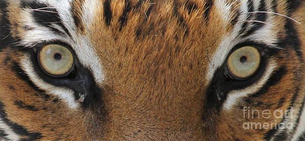 Malayan Tiger Eyes Poster
