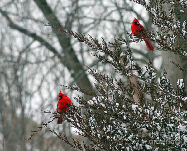 Male Cardinal Pair Poster