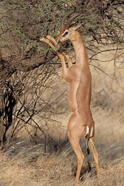 Male Gerenuk Litocranius Waller Eating Poster