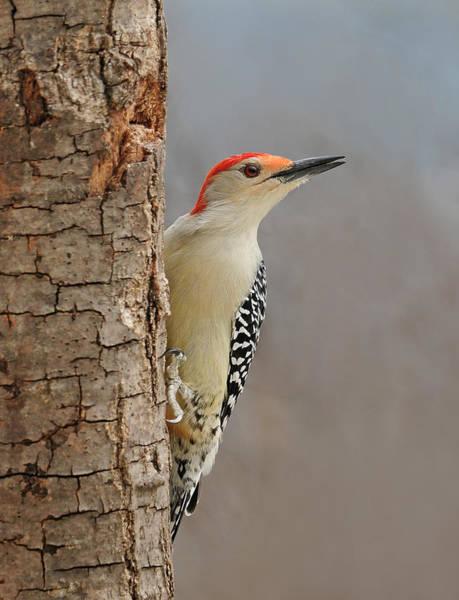 Male Redbellied Woodpecker 1 Poster