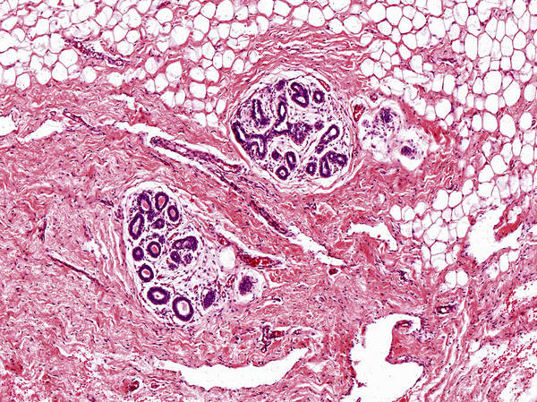 Mammary Gland Lm Poster