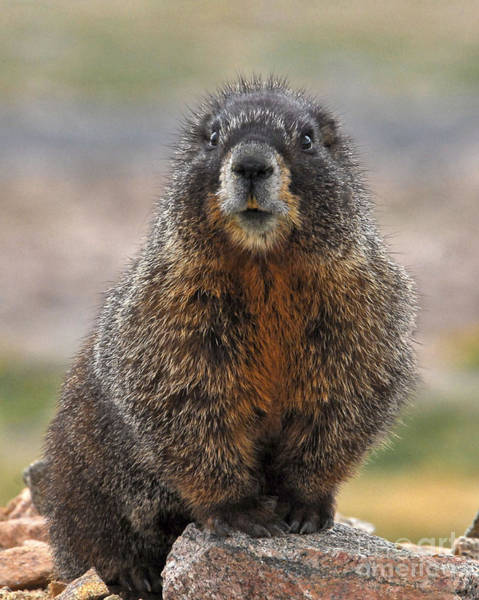 Poster featuring the photograph Marmot by Mae Wertz