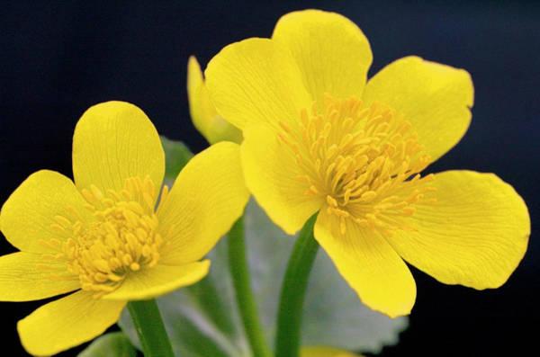 Marsh Marigold (caltha Palustris) Poster