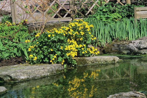Marsh Marigolds (caltha Palustris) Poster