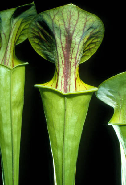 Mature Pitchers Of Pitcher Plant Poster