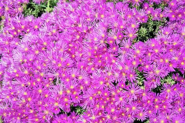 Mesembryanthemum Flowers Poster