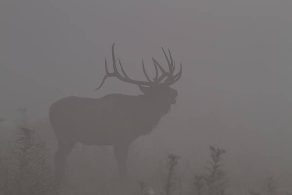 Misty Morning Bull Elk Poster