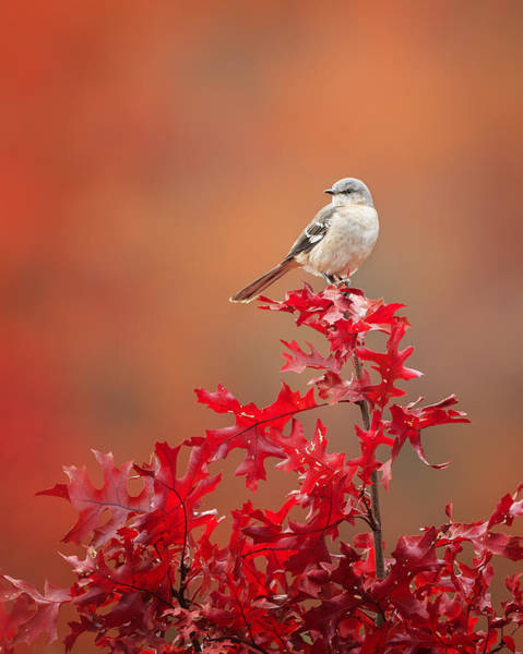 Mockingbird Autumn Poster