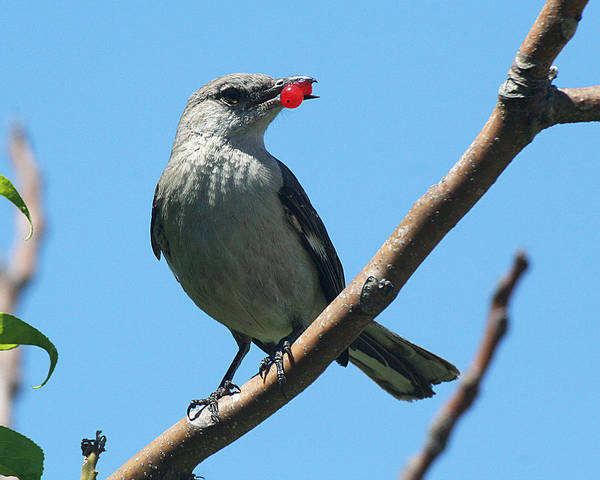 Mockingbird With Berries Poster