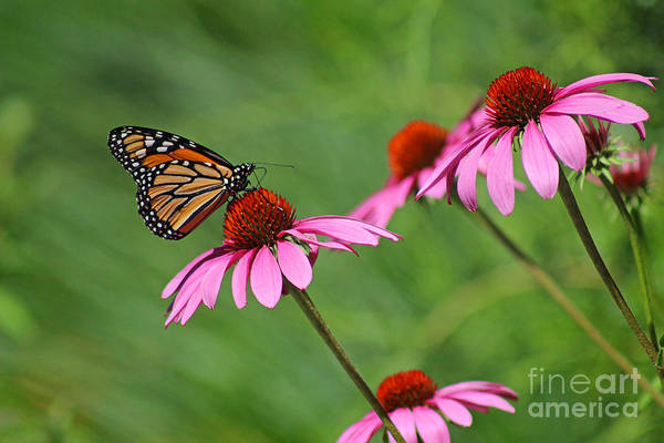 Monarch On Garden Coneflowers Poster