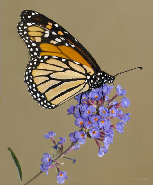 Poster featuring the photograph Monarch by Vickie Szumigala