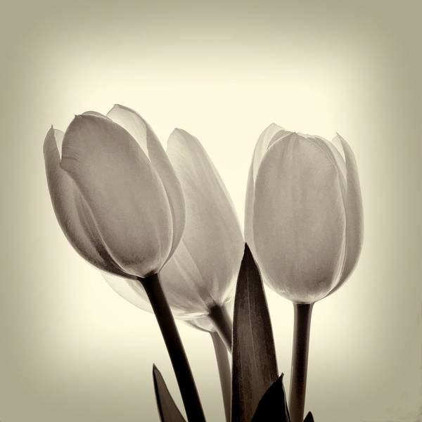 Monochrome Tulips With Vignette Poster
