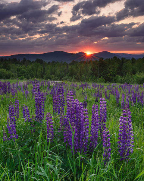 Moody Sunrise Over Lupine Field Poster
