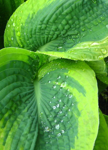Morning Rain Hosta Poster