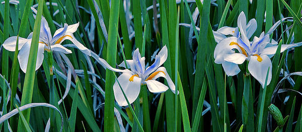 Poster featuring the photograph Morning Smile - Wild African Iris by Donna Proctor