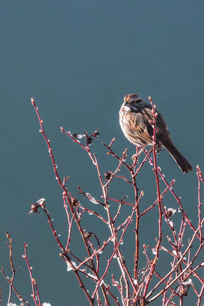 Morning Sparrow Poster