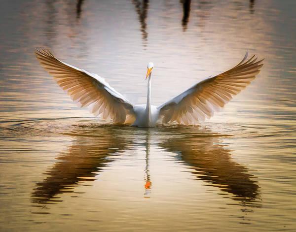 Morning Wings An Egret Awakes Poster