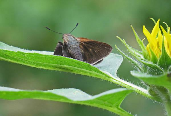 Moth Flower Poster