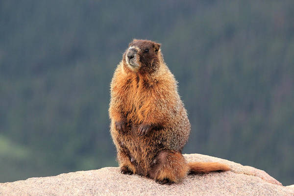 Poster featuring the photograph Mother Marmot by Shane Bechler