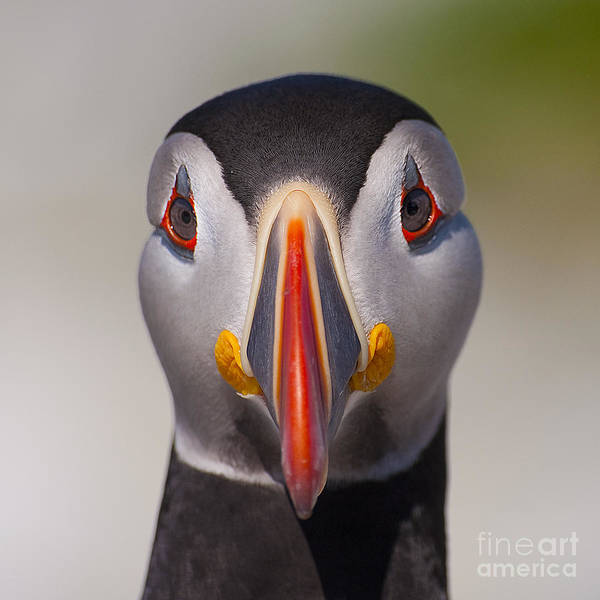 Mr. Puffin.. Poster