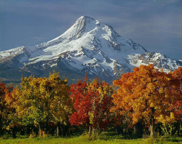 1m5117-mt. Hood In Autumn Poster