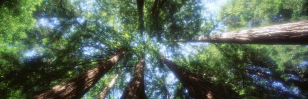 Muir Woods Redwoods Ca Usa Poster
