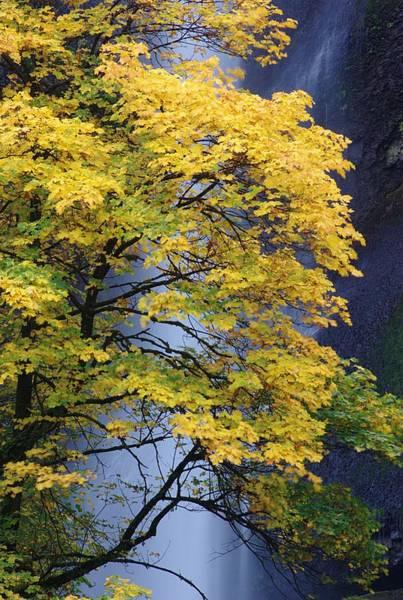 Multnomah Falls Maple Poster